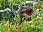 Red Howler Monkey © J S Bridges