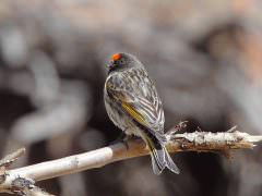 Red-fronted Serin © N Robinson