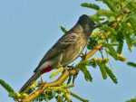 Red-vented Bulbul © T Lawson