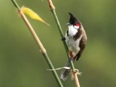 Red-whiskered Bulbul © R Wasley