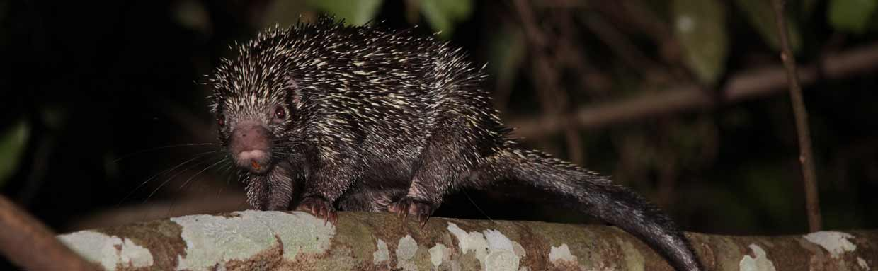 Rothschild's Porcupine in the trees © M O'Dell