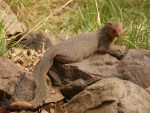 Ruddy Mongoose © J Thomas