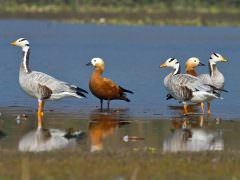 Ruddy Shelduck and Bar-headed Geese © T Lawson