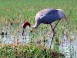 Sarus Crane © L Sikarwar
