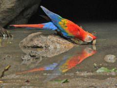Scarlet Macaw © K Barnes