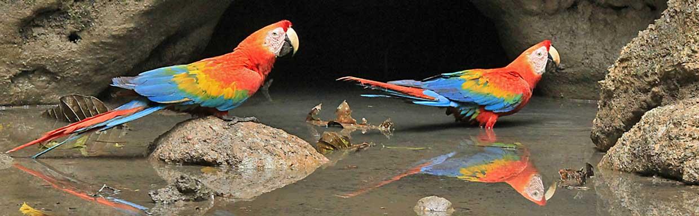 Scarlet Macaws © K Barnes