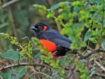 Scarlet-bellied Mountain Tanager © K Barnes