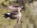 Spot-billed Ducks © P Clarke