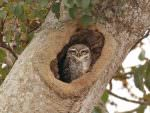 Spotted Owlet © R Wasley