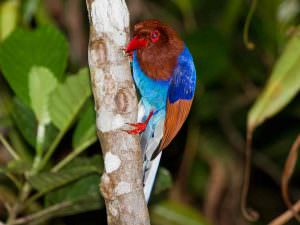 Sri Lanka Blue Magpie © Tony Sawbridge