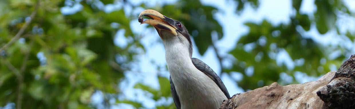 Sri Lanka Grey Hornbill © C Kitchin