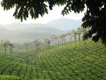 Tea plantation © R Wasley