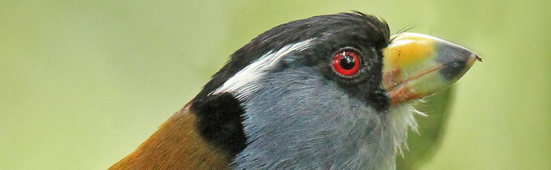 Toucan Barbet © K Barnes