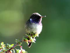 Volcano Hummingbird © J Badley