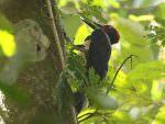 White-bellied Woodpecker © R Wasley