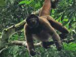 Wooly Monkey © K Barnes