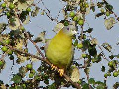 Yellow-footed Green Pigeon © K Claydon