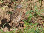 Barred Buttonquail © C Kitchin