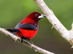 Crimson-backed Tanager © D Tipling