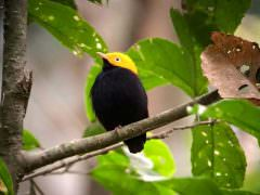 Golden-headed Manakin © C Bethancourt