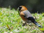 Orange-headed Bullfinch © P Lobo
