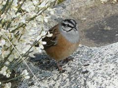 Rock Bunting © J Sykes