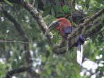 Rufous-necked Hornbill © P Lobo