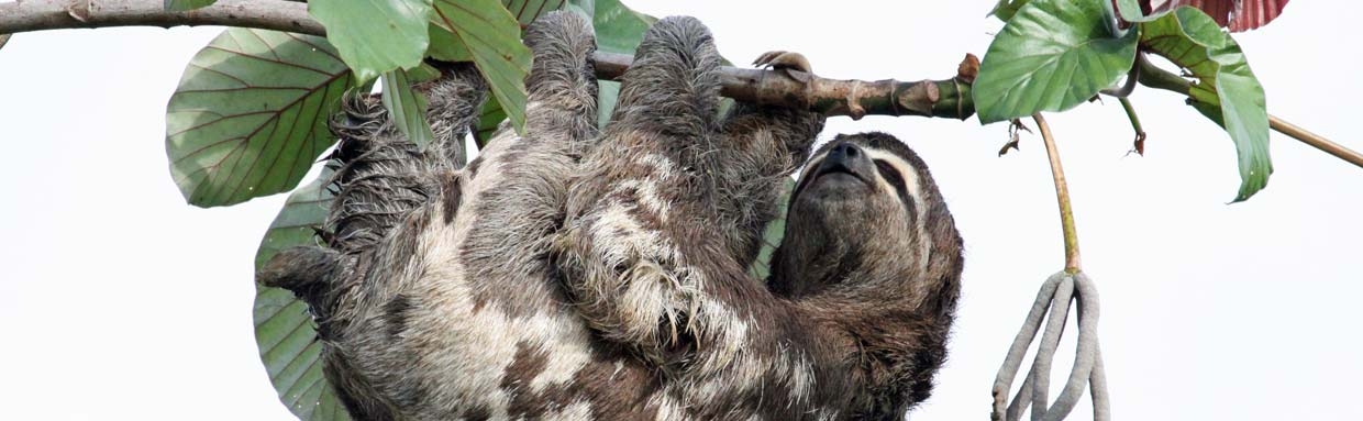 Brown-throated Three-toed Sloth © P Pilbeam