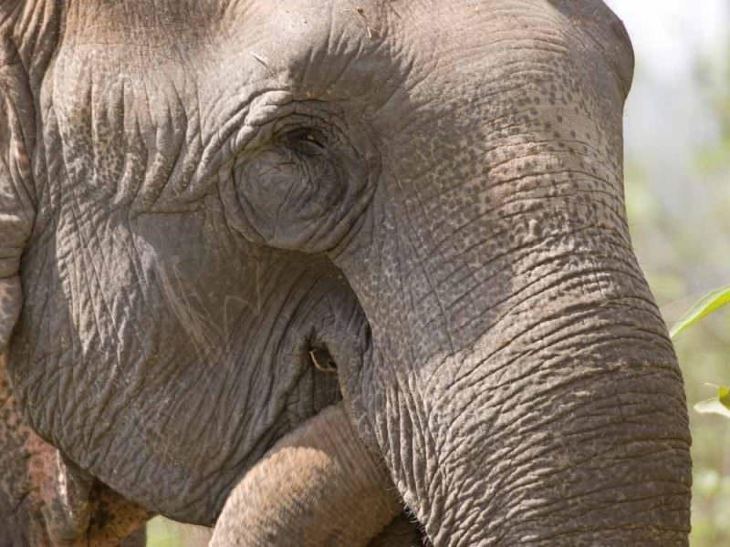 Asian Elephant © J Bridges