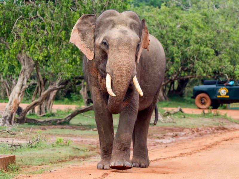 Asian Elephant Yala © Tony Sawbridge