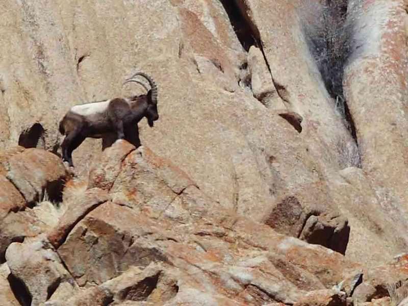 Asiatic Ibex Ladakh © N Robinson