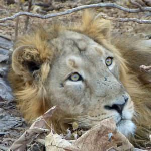 Asiatic Lion Gir National Park © K Claydon