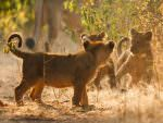 Asiatic Lion cubs at Gir National Park © G Dean