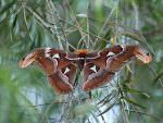Atlas Moth © J Thomas