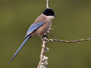 Azure-winged Magpie © R Campey, One Stop Nature Shop