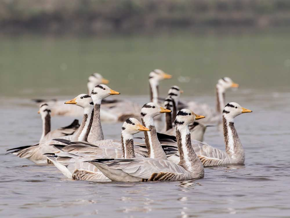 Bar-headed Geese © P Clarke