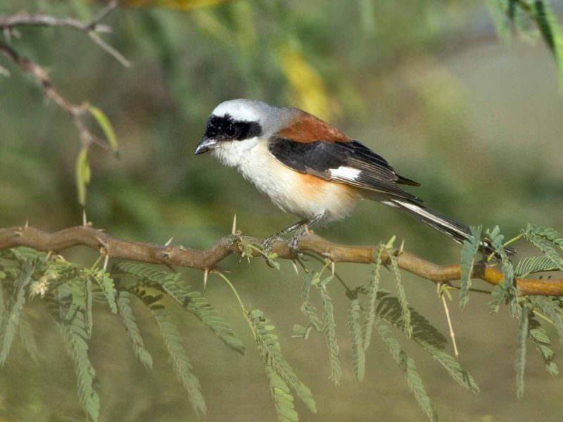 Bay-backed Shrike © D Bryan