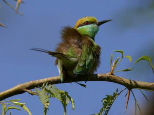 Green Bee-eater © K Barnes