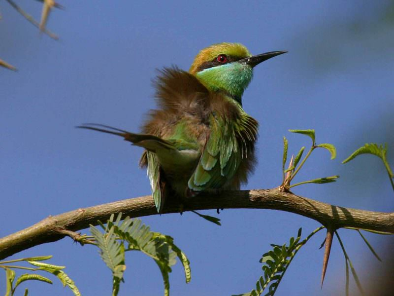 Green Bee-eater © K Barnes