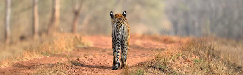 Bengal Tiger © I Newton