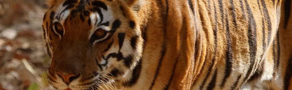 Bengal Tiger © M Eldridge