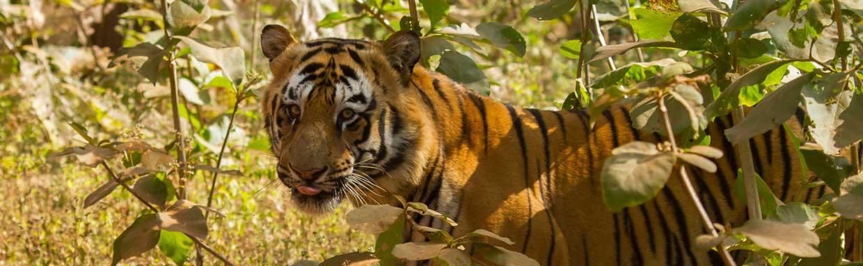 Bengal Tiger, Tadoba © G Dean