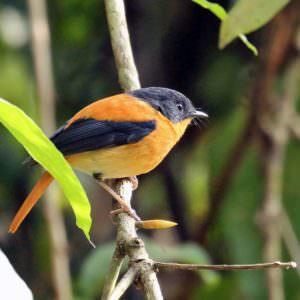Black-and-orange Flycatcher © R Wasley