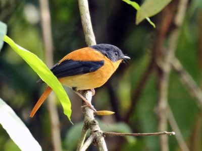 Black-and-orange Flycatcher © R Wasley