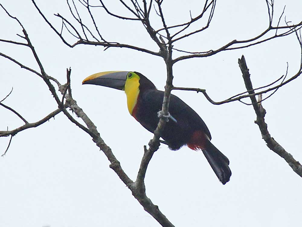 Black-mandibled Toucan © K Barnes