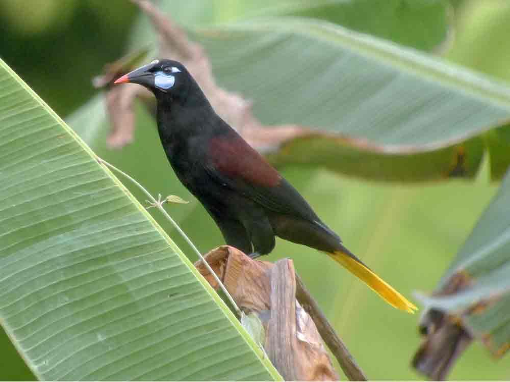 Black Oropendola © Canopy Family