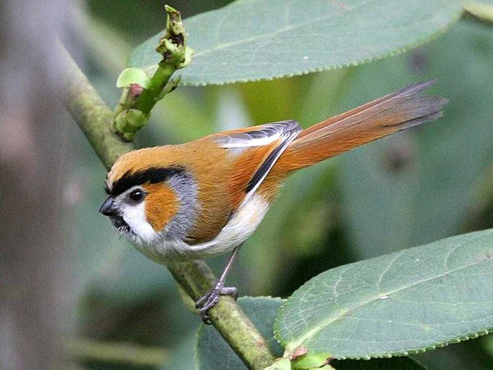 Black-throated Parrotbill © P Lobo