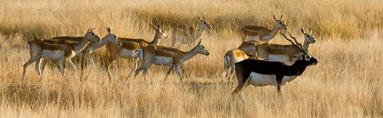 Blackbuck at Blackbuck National Park (Velavadar) © T Lawson
