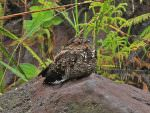 Blackish Nightjar © K Barnes