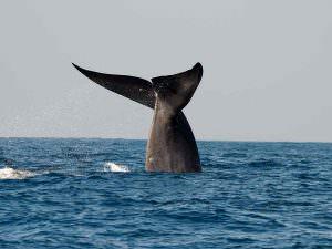 Blue Whale off Mirissa © Tony Sawbridge